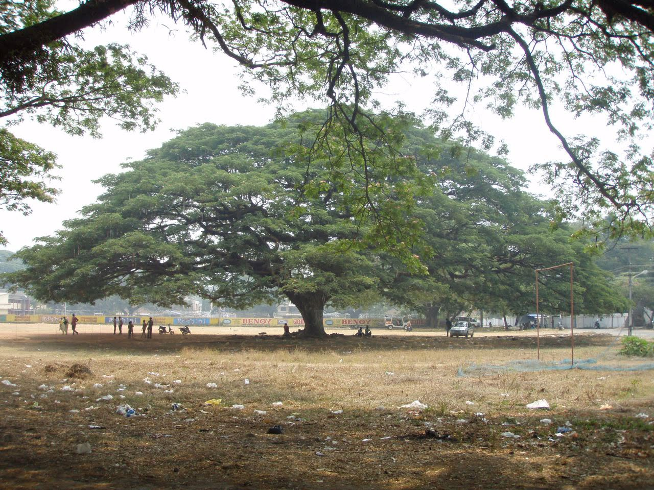 Lloyd s blog huge shade tree in india for Best small shade trees