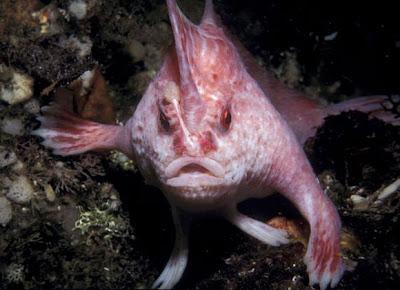 new-handfish-species-pink_20881_600x450.jpg