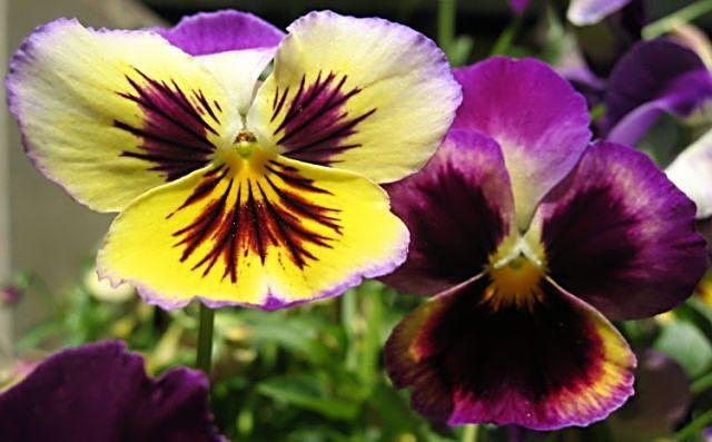flor y amor joven. flor amor perfeito