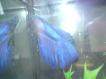 My New Betta