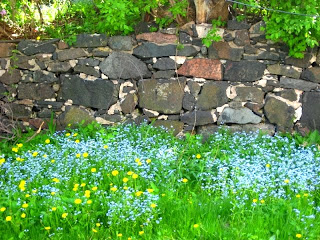 self-sown forget-me-nots
