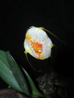 Masdevallia strobelii