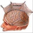 Debajo del craneo pegadidos a la masa del cerebro