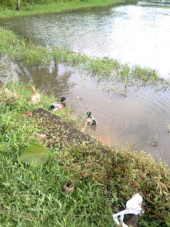 ducks taking bath in a paddy field where water filled with green grass and shaped paddy field borders