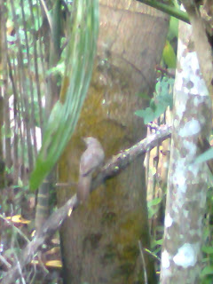 this picture shown a grey colored bird that I have not seen earlier which is sitting on a tree may it be a endanger species