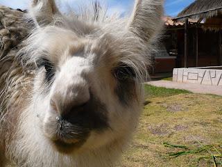 Llama closeup