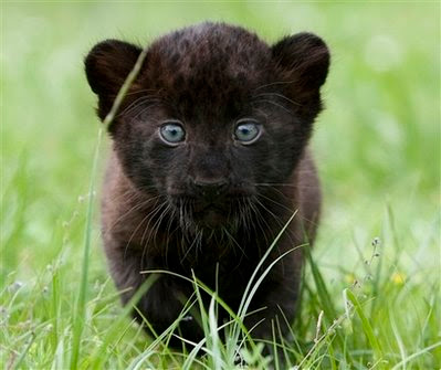 Black Panther Cubs