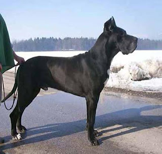 Alaunt Dog Breed