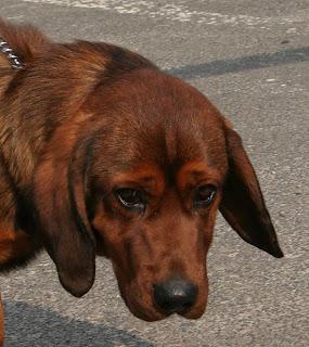 Alpine Dachsbracke Austria Dog Image
