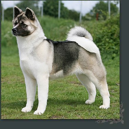 CENTER: American Akita Japan Dog Breed Puppy Care Center and The dog
