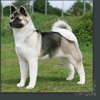 American Akita Japan Dog Breed
