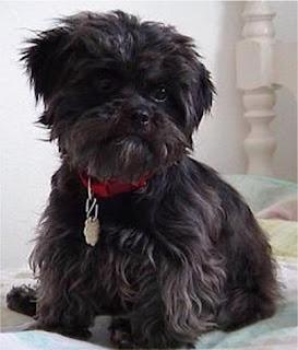 Affenpinscher Dog picture