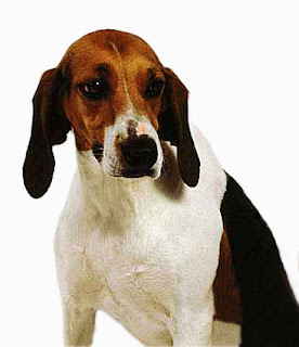 Anglo-Français de Petite Vénerie France Dog