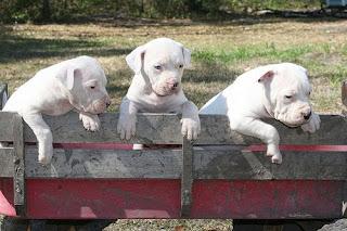 Antebellum Bulldog Puppies