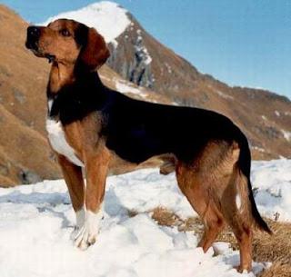 Artois Hound France Dog