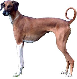 Azawakh Mali Dog Picture