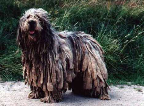 DOGS DAY BREED: Bergamasco Shepherd Dog DOGS DAY BREED