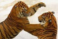Tigres lutando