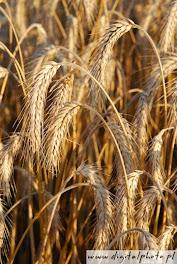 O trigo pronto a ser colhido