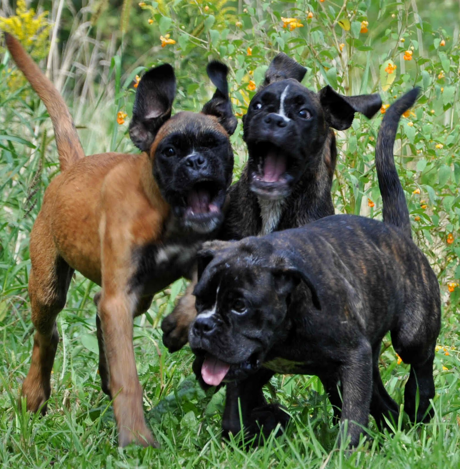 Mutant Monster Boxer Puppies!!