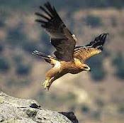 Conocer el Aguila Imperial