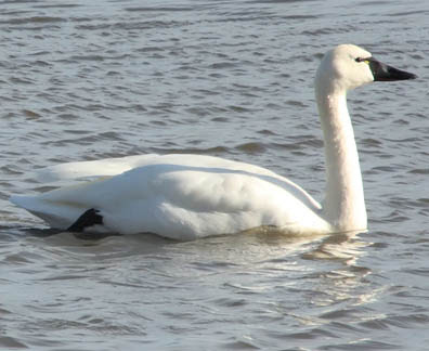 trumpeter swan. The trumpeter swan is the