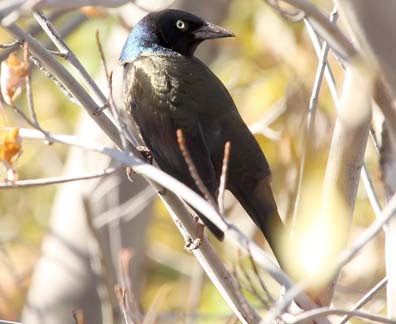 common grackle. female common grackle. and