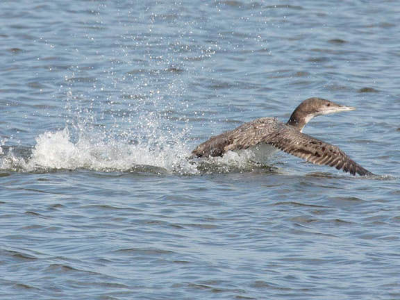 common loon facts. hair of Common Loon and young.