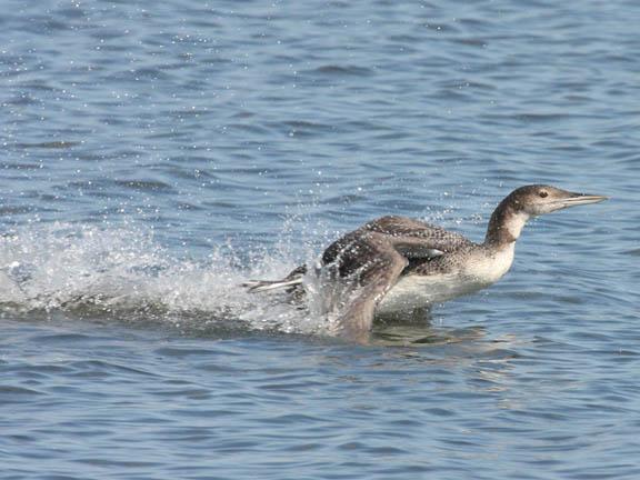 common loon feet. 2011 common loon in flight.
