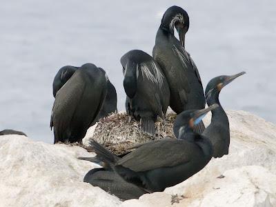 Brandt's cormorants nesting