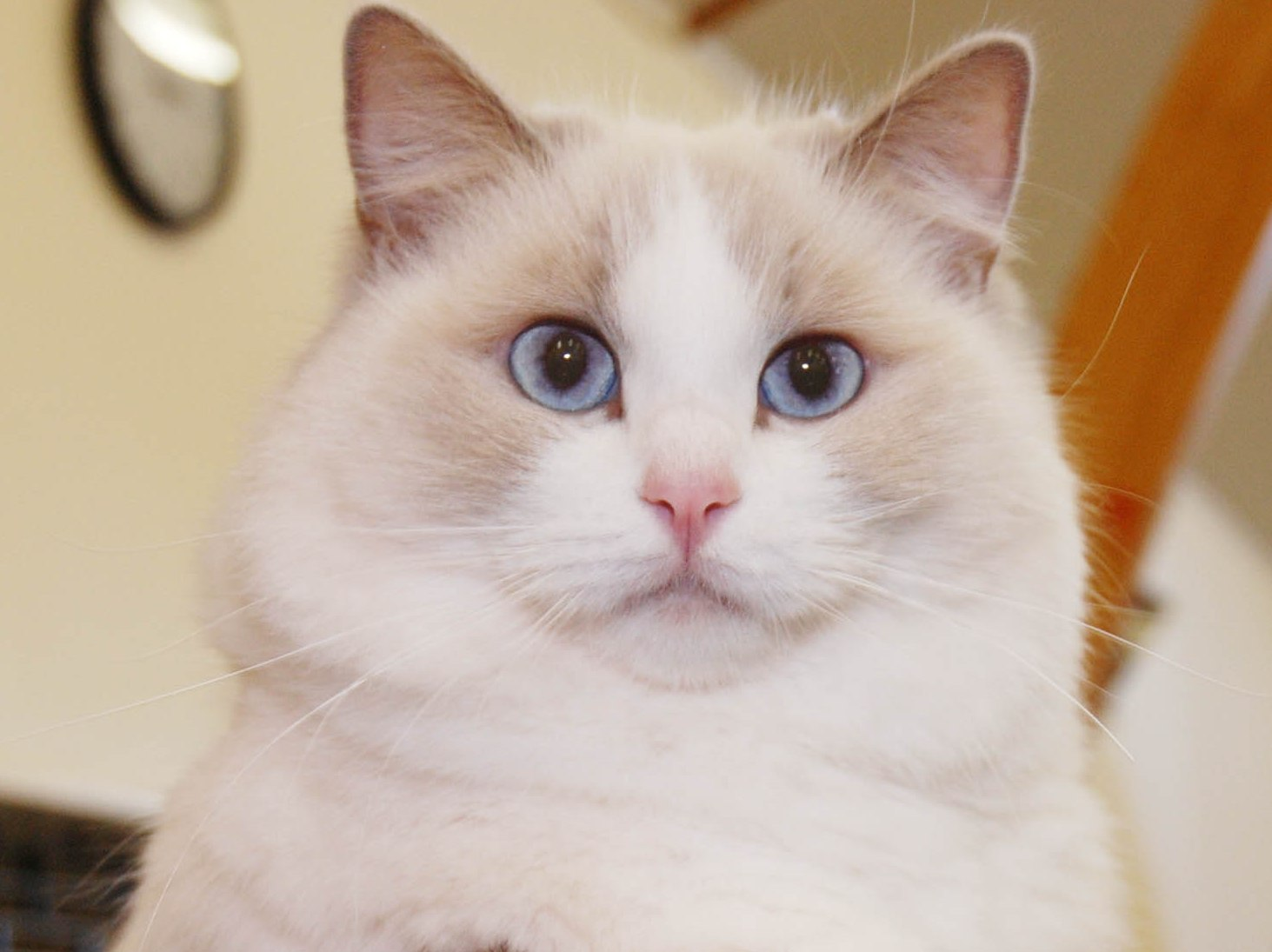 Ragdoll Cats Pictures Gallery