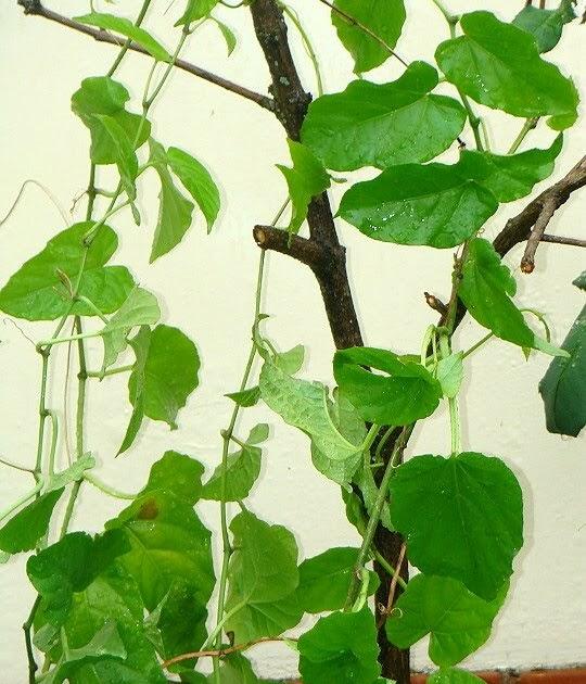 Terra Nostra: PLANTA INSULINA - Cissus verticillata
