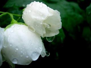 Rosas brancas de saudade por ti, que partiste para longe