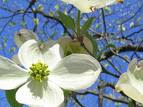 Dogwoods in Atlanta