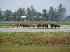 Sekawan Lembu