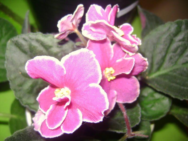 Feng Shui: ¿Cómo usar la energía de las plantas para  - Fotos De Violetas Africanas Flores
