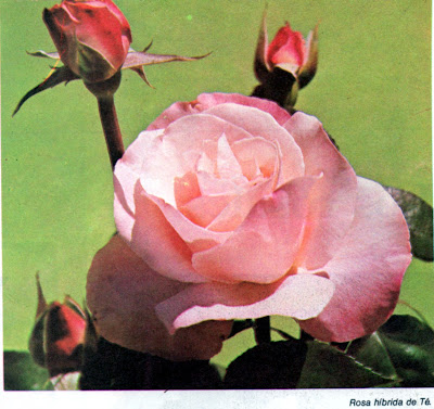 Jardineria plantas y flores los rosales for Jardineria rosales