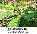Ketepeng cina to cure Mouth sores