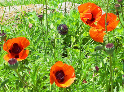Oriental Prince of Orange Poppy, Papaver orientale