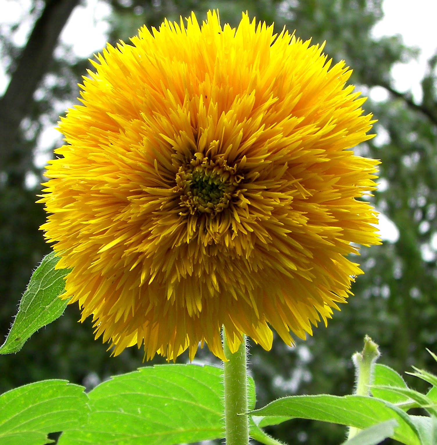 historymike Sungold Dwarf Sunflower