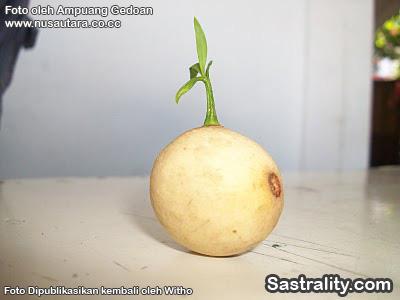 buah langsat bertunas