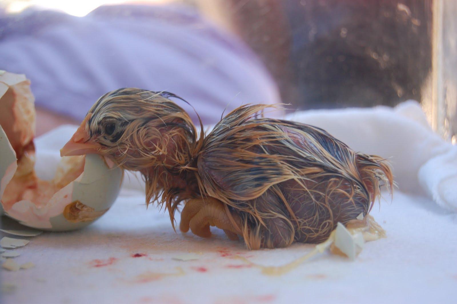 Ancient Hearth: Chicken Hatch Field Trip - Part II