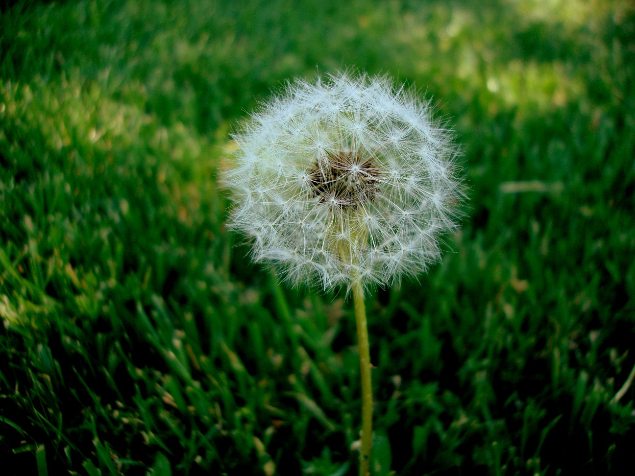 My Impressions Make a wish and blow the weed flower Dandelion