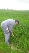 Herbejant el camp de blat