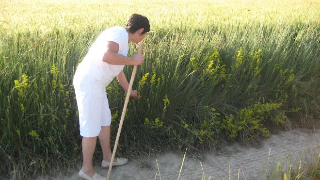 L'espunyidera groga, una herba de Sant Joan.