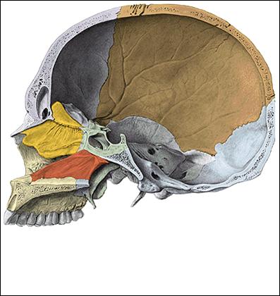 Palatino osteolog a for Pared lateral de la cavidad nasal