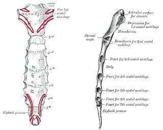 Esqueleto De La Columna Vertebral Esqueleto De La Columna
