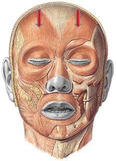 anatomía humana (músculos de la cabeza)