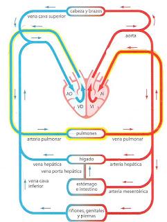 Funciones del cuerpo humano resumen