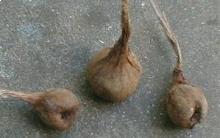 bulbes ou cornus à planter